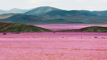 L'image du jour: un désert aride recouvert d'un tapis de fleurs