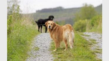 Des golden retrievers