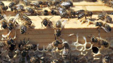 Les pesticides s'avèreraient bien létaux pour les abeilles