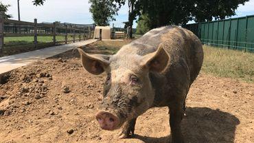 Mystic, le cochon vedette du refuge, a une dizaine de parrains
