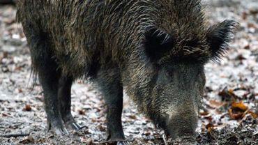 Peste porcine: les deux suspects restent en détention préventive.