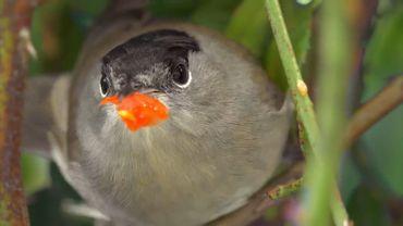 la fauvette, un petit oiseau pesant 15 à 20 grammes