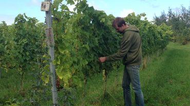 Les vendanges démarreront à la mi-septembre et les volontaires sont les bienvenus pour cueillir le raisin qui pousse aujourd'hui sur ce vignoble de 12 hectares.