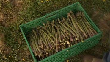 Les asperges vertes de Hesbaye seront bien récoltées même si cela entraîne des mesures de distanciation à respecter