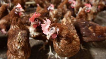Oeufs contaminés au fipronil: les administrateurs de Chickfriend présentés devant le juge mardi