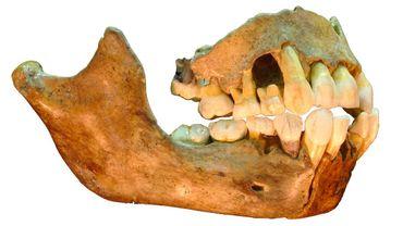 Scladina regorge de richesses archéologiques. En 1993 de la mâchoire inférieure d'une jeune Néandertalienne a provoqué un bouleversement tant émotionnel qu'anthropologique dans ces recherches !