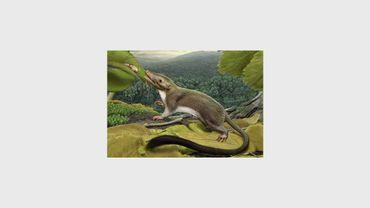Dessin d'un petit animal mangeur d'insectes, possible ancêtre des rongeurs et des primates