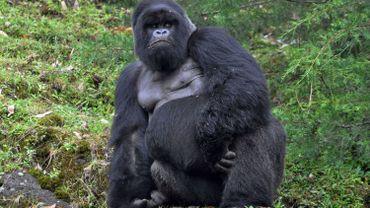 """Décès au Rwanda du dernier gorille rendu """"célèbre"""" par Dian Fossey"""
