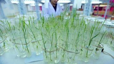 Depuis des années, le riz génétiquement modifié circule illégalement en Chine.