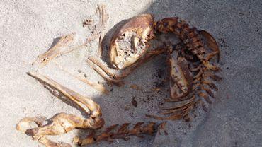 Un squelette de chat