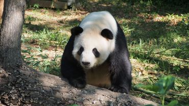 Illustration: un panda géant