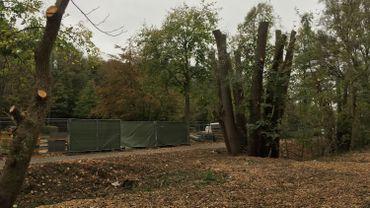 Les arbres d'un bois à Woluwe-Saint-Lambert élagués jusqu'au tronc: que s'est-il passé?