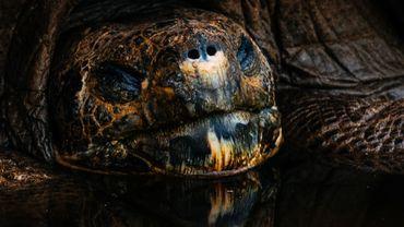 Plusieurs centres de reproduction des tortues géantes ont été ouverts sur les Îles Galapagos.