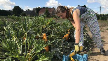 Pauline Huyberechts en pleine récolte de courgettes