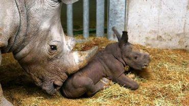 Sethemba, bébé rhinocéros blanc, est né mardi à Pairi Daiza