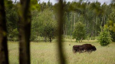 Située sur la frontière entre la Pologne et le Belarus, la forêt de Bialowieza abrite une faune variée et unique dont la plus grande population de bisons d'Europe.