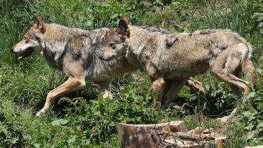 La Finlande maintient l'abattage ciblé des loups pour lutter contre le braconnage, en dépit de la protection européenne et l'opposition des organisations de défense des animaux