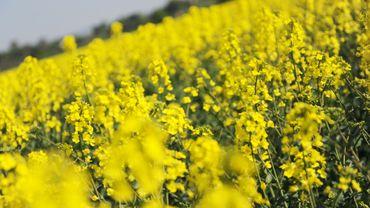 Une culture destinée à la production de biodiesel