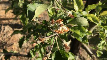 Le gel a provoqué des dégâts importants aux cultures fruitières.