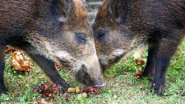 Des mesures à la frontière française concernant la peste porcine