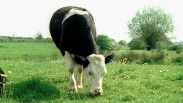 Fin des quotas laitiers: quel futur pour les agriculteurs belges?
