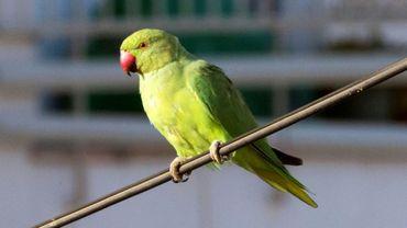 Le plumage vert vif des perruches à collier est devenu familier dans bien des villes du Vieux Continent mais aux Pays-Bas, où le nombre de ces volatiles exotiques explose, un débat fait rage sur leur nuisance