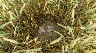 Le Busard cendré de retour au Parc naturel Burdinale-Mehaigne