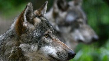 La population de loups continue d'augmenter en Allemagne, 105 meutes y vivent