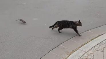 Tel est pris qui croyait prendre: un rat terrorise un chat au Luxembourg