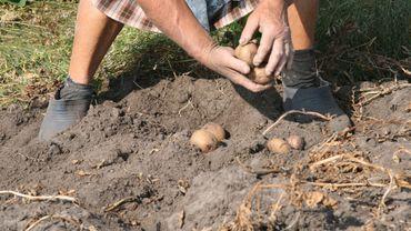 Pratiquez-vous le glanage après le passages des engins agricoles ?