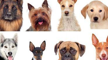 A quel chien ressemblez-vous ?