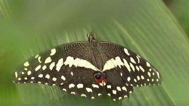 Des papillons tropicaux de toutes sortes à voir à Virelles