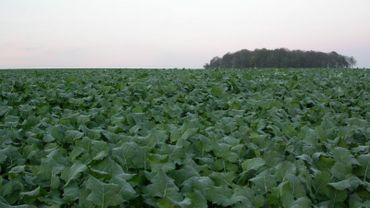 Les analyses démontrent que l'on peut diminuer l'azote à verser sur les champs de betteraves.