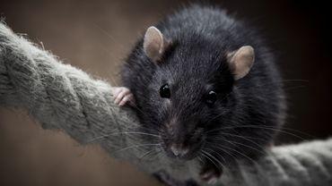 Les meilleurs rats envoyés par les Belges à Donald Trump