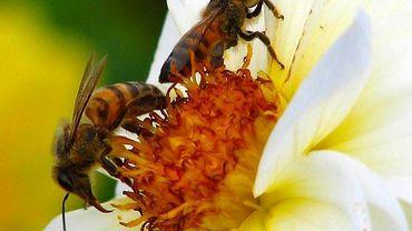 Un vote crucial pour les colonies d'abeilles se déroule ce lundi