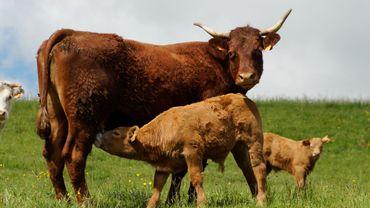 """La salers est, écrit Wikipedia, """"une race bovine française caractérisée par sa robe de couleur rouge bordeaux""""."""