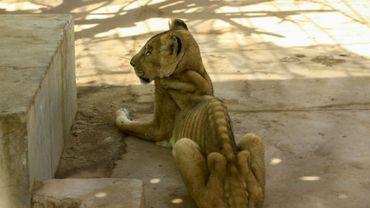 Une lionne mal-nourrie dans sa cage au parc d'Al-Qureshi à Khartoum au Soudan, le 19 janvier 2020