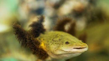 Une salamandre aquatique Ambystoma dumerilii, ou achoque, en captivité dans un aquarium d'un monastère mexicain au lac Patzcuaro, le 22 août 2018