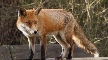 Bruxelles : les renards sont de sortie