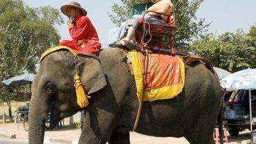 Sur les 2.923 éléphants recensés dans l'industrie du tourisme, 2.198 se trouvent en Thaïlande.