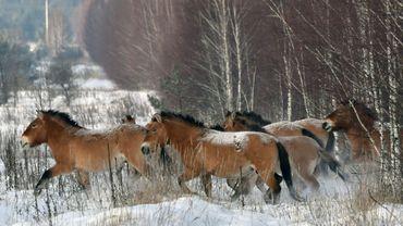 Des chevaux de Przewalski sur la zone d'exclusion de Tchernobyl en Ukraine le 22 janvier 2016