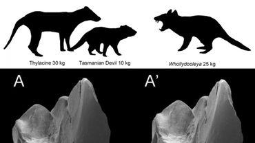 Au-dessus, la taille du Whollydooleya tomnpatrichorum comparée notamment au diable de Tasmanie. En-dessous, une molaire inférieure de l'animal.