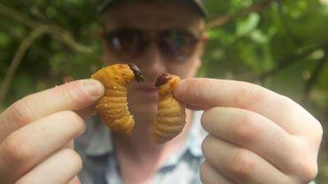 Un regard sur les insectes comestibles
