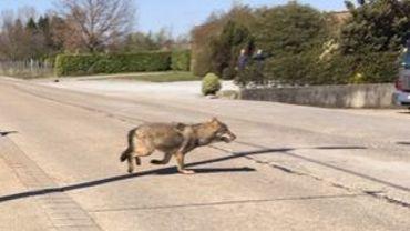 Un loup repéré dans les rues de la province d'Anvers.