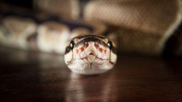 Un python vivant a été découvert lundi par les douaniers de l'aéroport parisien de Roissy-Charles de Gaulle