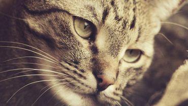Se repérer, se faufiler… Mais à quoi les moustaches du chat servent-elles ?
