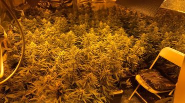 Au total, la police aura découvert quelques 5500 plants de cannabis.
