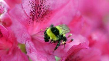 Une nouvelle étude fait naître des inquiétudes concernant les bourdons, importants pollinisateurs
