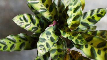 Plante d'intérieur du mois: le calathea