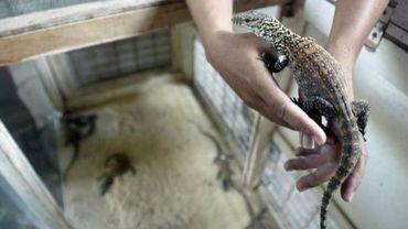 Un vétérinaire tient dans ses mains l'un des komodos nés en captivité, le 14 mars 2013 dans le zoo de Surabaya, en Indonésie